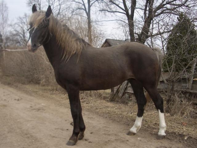Estonian Native Horse Rikoshet%20783%20E%20080305